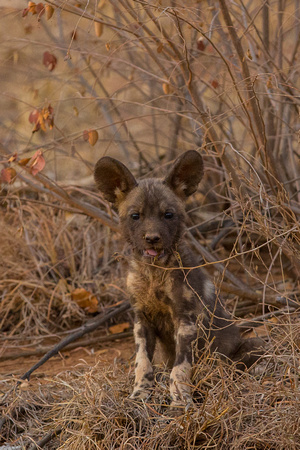 Spot.. the wild dog pup