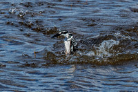 Pied kingfisher - upright, but no fish