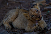Lion cubs on a kill
