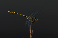 Dragon fly - Tigertail